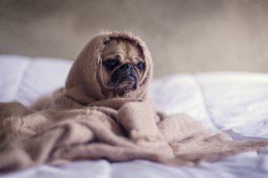 犬が毛布にくるまって布団の上に座っている
