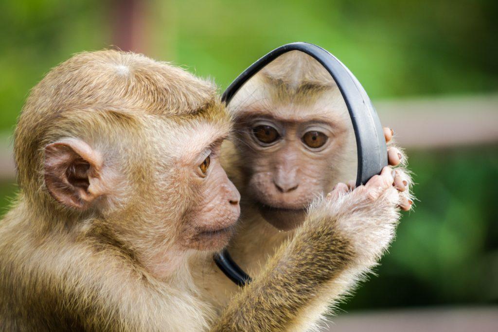 猿が鏡を見ている